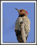 PIC FLAMBOYANT, mâle   /  NORTHERN FLICKER, male      _MG_3952 a