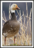 OIE DES NEIGES, forme sombre   /   SNOW GOOSE, dark phase    _MG_3239 a