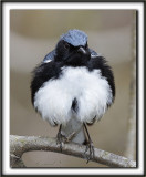 PARULINE BLEUE, mâle  /  BLACK-THROATED BLUE WARBLER, male      _MG_7502 a