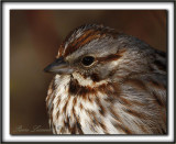 BRUANT CHANTEUR / SONG SPARROW      _MG_4140 a Crop