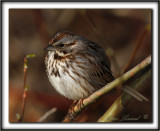 BRUANT CHANTEUR / SONG SPARROW      _MG_4140 a