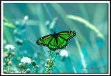 VICE-ROY  - LIMENITIS ARCIPPUS    -   provencher139.jpg