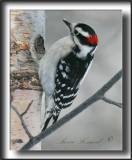 _MG_2884b   -  PIC CHEVELU mâle  /  HAIRY WOODPECKER male