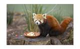 Halls Gap Zoo Red Panda 1.jpg
