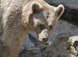 A Brown Bear at Melbourne Zoo.jpg
