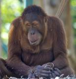 A Orangutan at Melbourne Zoo.jpg