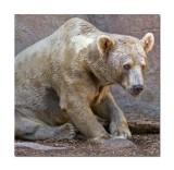 Bear at Melbourne Zoo.jpg