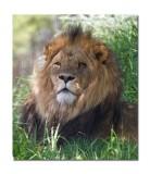 Lion at Melbourne Zoo.jpg