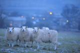 20120204 - Nite-Nite Sheepies