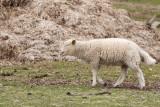 Schapen - Sheep - Mouton