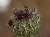 Streifenwanzen auf wilder Möhre / striped shield bugs on wild carrot