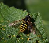 Wespenschwebfliege / wasp mimicking hoverfly