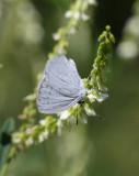 Faulbaumbläuling / Holly Blue / Azuré des nerpruns