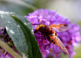 Hornissenschwebfliege / hornet mimic hoverfly / volucelle