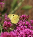 Schmetterlinge, Boten des Sommers / butterflies, messengers of summer