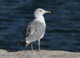Gull photos