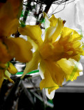 The Yellow Of Daffodils