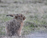 Lièvre / Jack Rabbit 5455