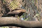 Black Kite - 69 163