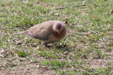 Little Brown Dove - 74 042