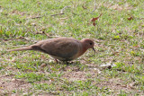 Little Brown Dove - 74 044