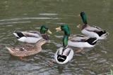 Ducks-1736