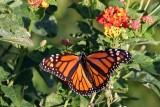 Monarch-2683