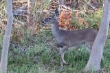 Deer-2724