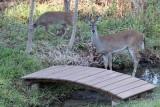 Deer-2726