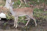 Deer-2728