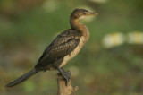 00887 - Reed Cormorant - Microcarbo africanus