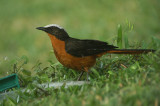 08815 - White-crowned Robin-Chat - Cossypha albicapillus