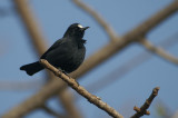 White-fronted Black-Chat