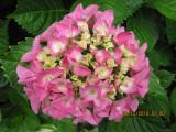 IMillion flower