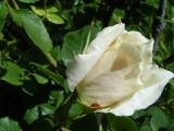 Rose wBug-San Damiano