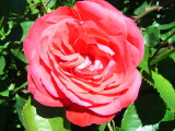 Rose in San Damiano