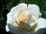 Rose-San Damiano