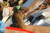 Mungo - Herpestes auropunctatus - Indian mongoose