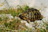 Eurotestudo hermanni - Gr¹ka ¾elva - Hermann's tortoise