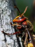 Vespa crabro - Sr¹en - European hornet