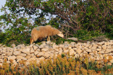 Ovca - Sheep