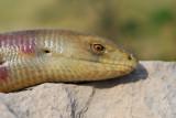Ophisaurus apodus - ®oltoplaz - Blavor - European glass lizard