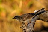 Sylvia melanocephala - Zametna penica - Sardinian warbler