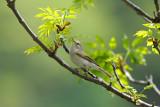 Phylloscopus bonelli - Hribska listnica - Western Bonelli's Warbler