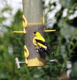 American Goldfinch IMG_2051.jpg