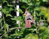 Cardinal IMG_2060.jpg