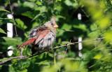 Cardinal IMG_2072.jpg