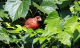 Cardinal IMG_2081.jpg