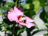 Pollinated Bee IMG_2033.jpg