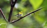 Black-throated Green Warbler IMG_5689.jpg
